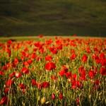 Vivid poppy field