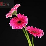 Beautiful pink gerbera flowers on black background