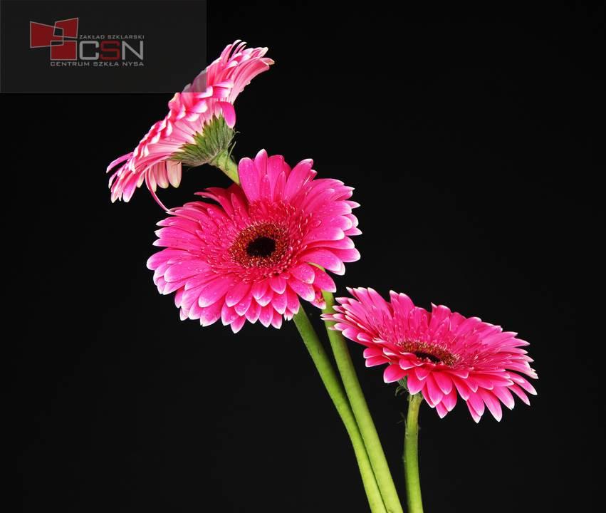 Beautiful pink gerbera flowers on black background